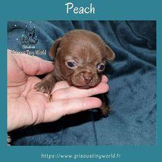 Peach,petite princesse tout choco#chihuahua#elevagechihuahua#eleveurchihuahua Le Chihuahua, Education Positive, Peach, Teddy Bear, Toys, Adopt A Puppy, Behavior, Animaux, Activity Toys
