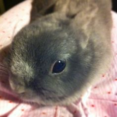 Eeyore! Netherland dwarf bunny. Adorable Bunnies, Funny Bunnies, Baby Bunnies, Cute Bunny, Bunny Rabbit, Netherland Dwarf Bunny, Dwarf Bunnies, Dwarf Rabbit, Black Bunny