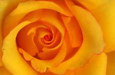 rose, 장미 @Srini