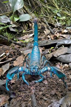 Scientists unveil 20 new species .but with a blue scorpion, and a tarantula the size of a hand, couldn't we have got by without knowing? Blue Scorpion, one of 20 new species discovered by scientists. Scorpions are predatory arthropod animals of the orde Beautiful Bugs, Amazing Nature, Beautiful Pictures, Rare Animals, Animals And Pets, Creepy Animals, Dangerous Animals, Exotic Animals, Beautiful Creatures