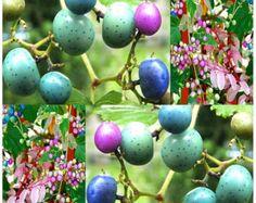 Porcelain Berry Vine Zones 4 - 8.