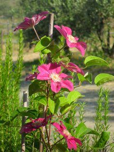 Violet Climates. My perennial Garden.