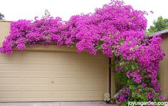 How I Prune & Trim My Bougainvillea For Maximum Bloom - |