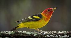 Image result for golden eared tanager
