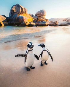 Meet PENGUINS in SOUTH AFRICA! These African penguins are only found on the coastlines of Southern Africa. These penguins are currently on the verge of extinction and are under the protection of the Cape Nature Conservation. Photo by Emmett Sparling ( Cute Baby Animals, Animals And Pets, Funny Animals, Beautiful Creatures, Animals Beautiful, Fauna Marina, African Penguin, Boulder Beach, Cute Penguins