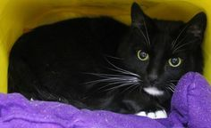 ADOPTED>Intake: 7/22 Available: 7/28 NAME: Denver  ANIMAL ID: 28665671 BREED: DSH  SEX: Neutered Male  EST. AGE: 6 yrs  Est Weight: 14.7 lbs  Health:  Temperament: Friendly  ADDITIONAL INFO:  RESCUE PULL FEE: FREE!!