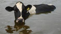 Deze koe sprong na de eerste redding direct weer terug de sloot in....