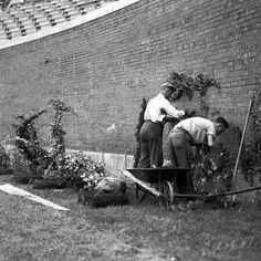 Planting Wrigley Field's Ivy