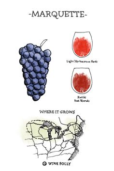 Marquette Wine Grape Illustration and Regional Map by Wine Folly