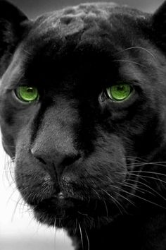 """* * """" I beez a panther. Read up on animals or just 'Big Cats. The Animals, My Animal, Wild Animals, Baby Animals, Beautiful Cats, Animals Beautiful, Big Cats, Cats And Kittens, Gato Grande"""