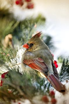 Female Northern Cardinal by Christina Rollo © www.rollosphotos.com. Close-up of a beautiful female Northern Cardinal (Cardinalis cardinalis) at rest in the snow with red and green holiday decorations. State bird of Illinois, Indiana, Kentucky, North Carolina, Ohio, Virginia and West Virginia in the USA.