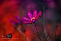 Deep Red (Azul Obscura / Osaka / Japan) #SIGMA SD1 Merrill #macro #photo #insect #nature