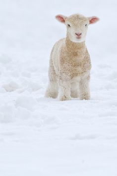Fleece as white as snow. Though I pinned this to my Wild Animal's Magesty board.and sheep aren't wild animals.I thought this guy was majestic enough in the snow to be put on this board Cute Creatures, Beautiful Creatures, Animals Beautiful, Cute Baby Animals, Farm Animals, Animals And Pets, Wild Animals, Wooly Bully, Baby Lamb