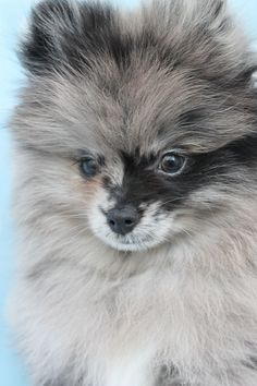 Marvelous Pomeranian Does Your Dog Measure Up and Does It Matter Characteristics. All About Pomeranian Does Your Dog Measure Up and Does It Matter Characteristics. Small Puppies, Cute Puppies, Cute Dogs, Dogs And Puppies, Dogs 101, Doggies, Animals And Pets, Baby Animals, Cute Animals