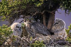 Great Horned Owl adult with chicks in nest