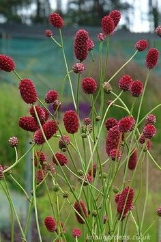 Interesting Plant: Sanguisorba #garden #plant