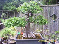 Bonsai Bonsai, South Africa, Outdoor Structures, Plants, Plant, Planets, String Garden