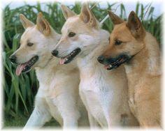 Canaan Dogs - Beauties! http://home.forbin.net/cherrysh/images/JasperFlameGlory.jpg