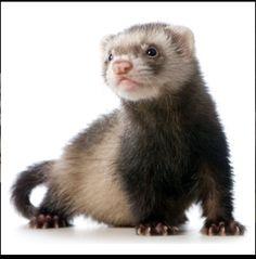 Ferret!:)