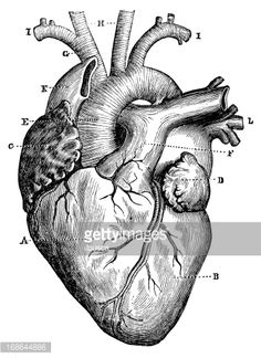 corazon humano - Buscar con Google