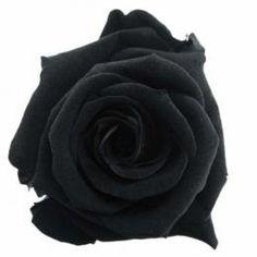 FL0100-26 Standard Rose / Midnight Black