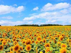 """黄色の絨毯に魅了される!夏しか見られない""""絶景""""ひまわり畑の名所5選"""