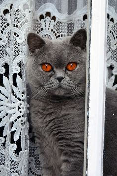 British Shorthair...so cute!!