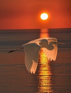 Sunse Soaring t | Great Egret At Sunset by Eric Kempson | From Brian Buckley on Google Plus