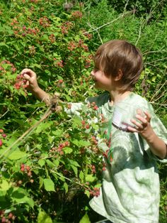 Picking Wild Blackberry's