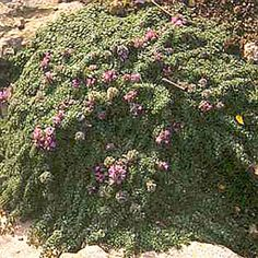 Thymus serpyllum minus Thymus Serpyllum, Rock Plants, Miniature Plants, Evergreen, Shrubs, Perennials, Wild Flowers, Vines, Cactus