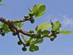 Le Figuier, Ficus carica ,  l'allié  de la digestion  En facilitant la digestion grâce à son action sur les protéines, le figuier aide la digestion et facilite le transit intestinal par une propriété laxative douce.