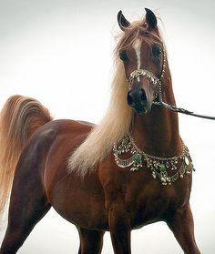 Straight Egyptian Arabian Stallion Damascus Info