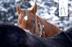 Quater horse Te Tom Sweet Bar