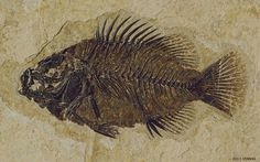 Historic Skeleton of a Fish.