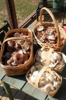 Growing Shiitake Mushrooms 101 – HOMEGROWN