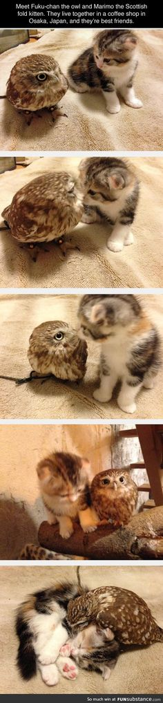 Meet Fuka-chan, the owl and Marimo the Scottish Fold kitten. They live together in a coffee shop in Osaka, Japan, and they are best friends. ❤ ❤