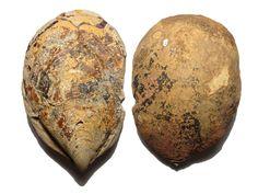 Inoceramus Scutulatus Bivalve Fossil, Rolling Downs Group, Mackunda Formation, Vellum Downs Pastoral Station, Queensland, Australia, Early Cretaceous - 580.9g