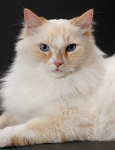 RagaMuffin Cats for Sale Beautiful Ragdolls and
