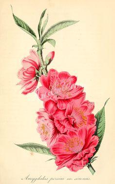 amygdalus persica sinensis      ...