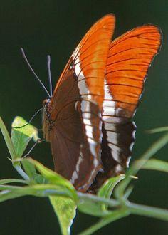 Mariposa Siproeta Epaphus
