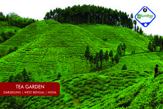 Darjeeling produces the world's most aromatic variety of tea. The unusual mixture of soil, altitude, sunshine, rainfall and the character of the people help Darjeeling produce the most fragrant of teas. Thus, good Darjeeling tea is indeed the champagne of teas.