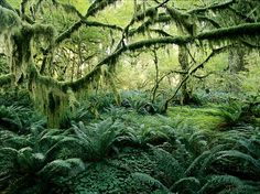 Vegetation grows wildly in an old-growth forest on Victoria Island, British Columbia. Low light, poor soils, and at least ten feet of rain a year create this temperate rain forest wonderland. Though the ground cover may look like mere duff, mosses provide a vital moist seedbed for young conifers, rotting lichens enrich the soil with essential nitrogen, and certain fungi provide trees with nutrients, water, and protection from root pathogens.