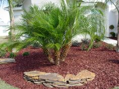 Dwarf Date Palms (Phoenix roebelenii) is another good plant for creating a tropical feel in the garden which does well down South.