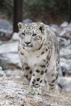 Snow Leopard by Mark Dumont on Flickr.