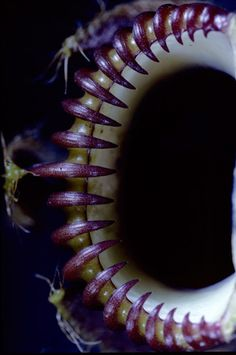 Close up of mouth of pitcher.  (Lidewij Edelkoort )