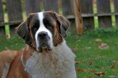 Quietest Dog Breeds