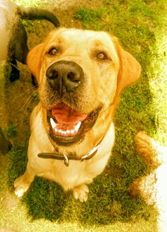 Buddy Dog Days, Make Me Smile, Labrador Retriever, Dogs, Animals, Labrador Retrievers, Animales, Animaux, Pet Dogs