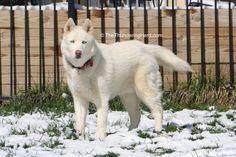 We now have photographic proof of Qannik's status as a ladies man. #dog #siberianhusky #husky