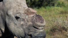 How many rhinos, will be stay on his nose