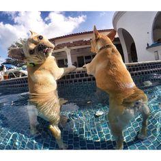 'Pool Day', French Bulldogs, via Batpig & Me Tumble It